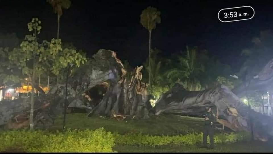 Muere La Ceiba del municipio de Gigante en el Huila. - Noticias de Colombia